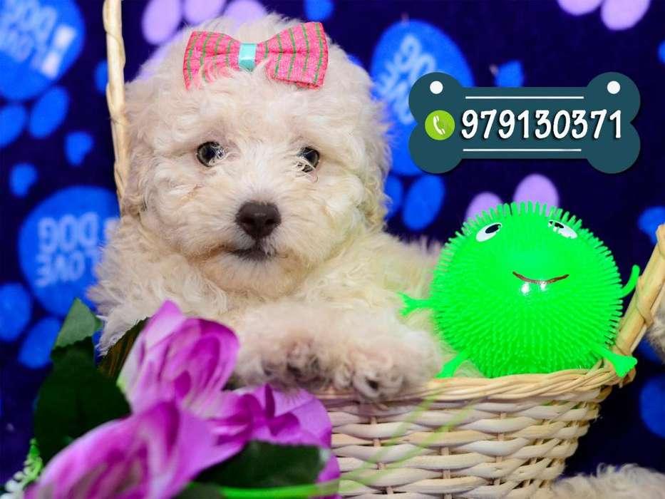 Preciosos Cachorros Poodle Vacunados Y Desparasitados *Shitzu*Bichon Frise*Pug*Pomerania*Yorkshire