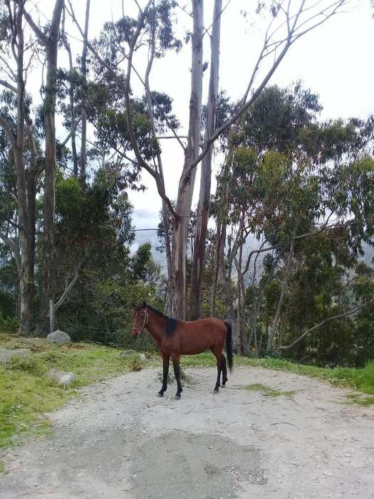 Venta de <strong>caballo</strong> de Paso