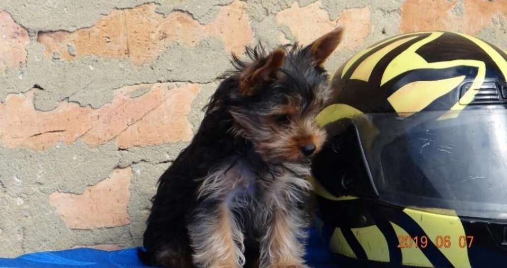 Yorkshire <strong>terrier</strong> Disponible