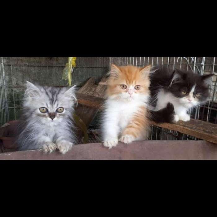 Vendo Excelentes Gatos Persa Clasicos