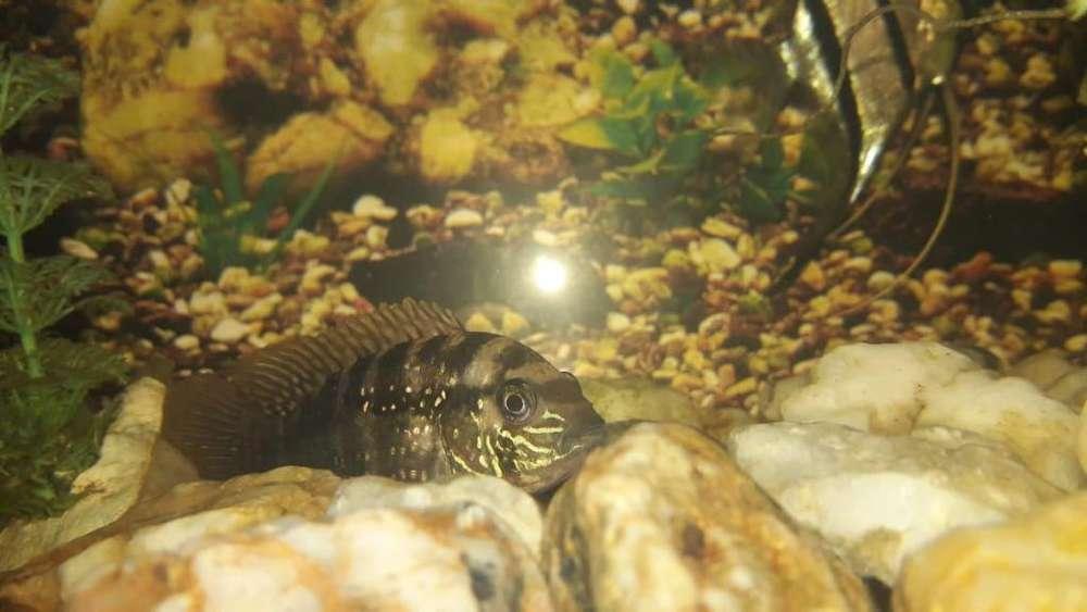 Peces para acuario agresivo o pacifico