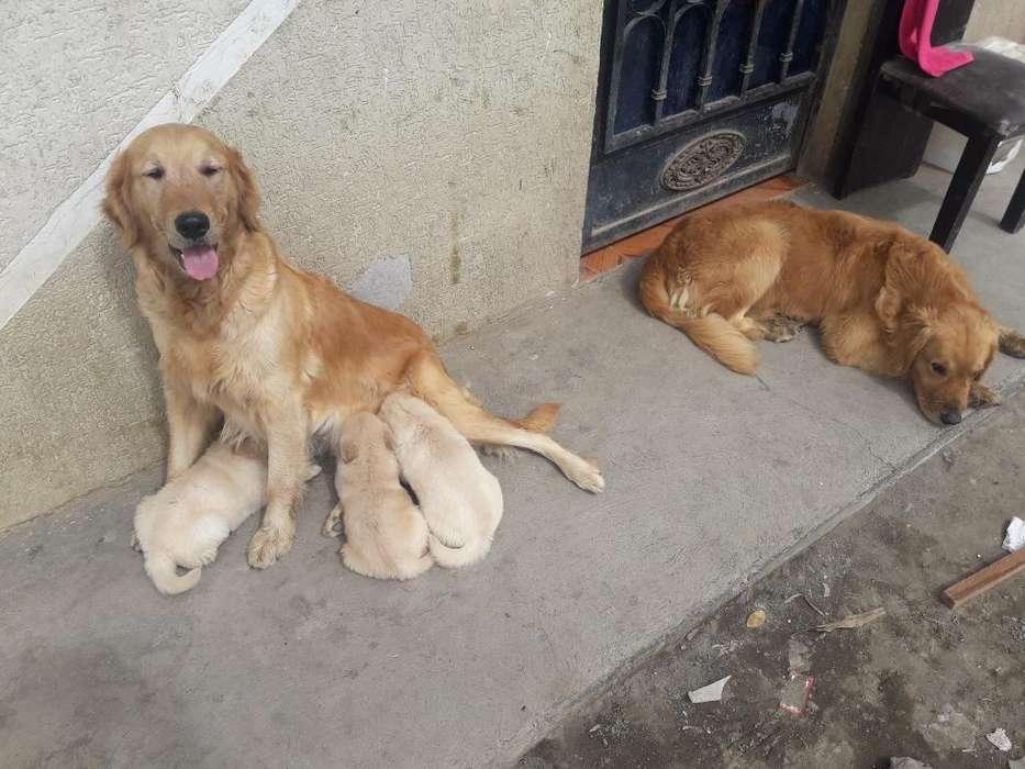 Vendo <strong>cachorro</strong>s Golden
