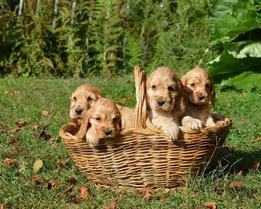 Cocker cachorritas 11-6612-8986