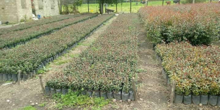 EUGENIAS, SEMILLAS PLANTAS ORNAMENTALES y JARDINERÍA EN COLOMBIA