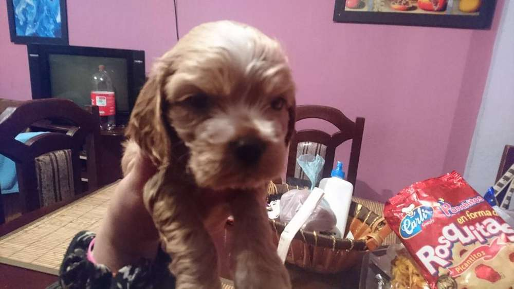 Vendo Cocker Spaniel Puros