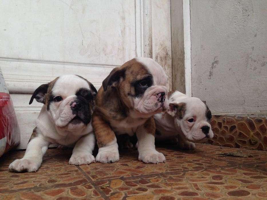 <strong>bulldog</strong> ingles lindos a dispocicion
