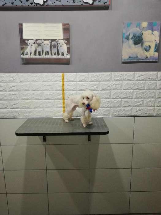 Poodle Mini Toy Brinda Servicio de Cruce