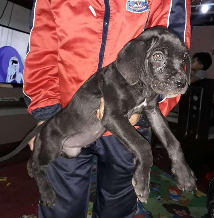 Cachorra Fila Brasilero de 2 Meses Hembr
