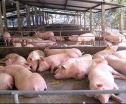 Harina de Yuca para Ganado Y Cerdos