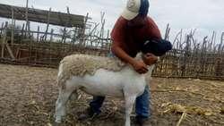 venta de ganado ovino y caprino para reproduccion