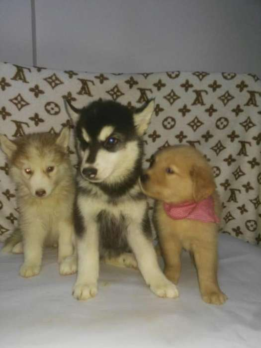 venta de <strong>cachorro</strong>s alta pureza