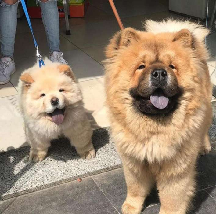 Hermososo Chow Chow Disponibles