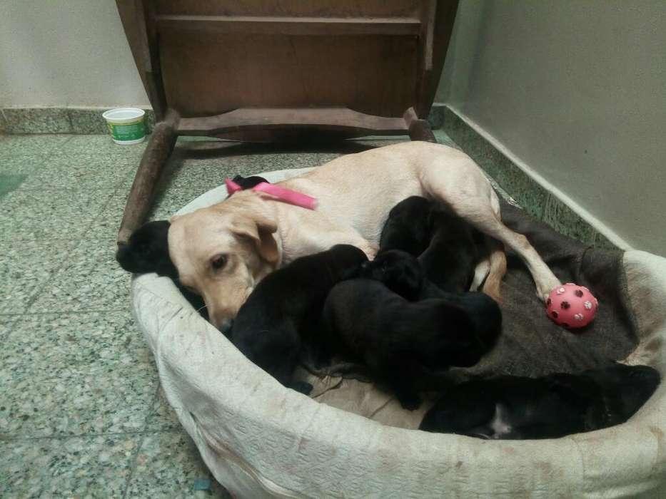 Remato Cachorros Labrador Retriever