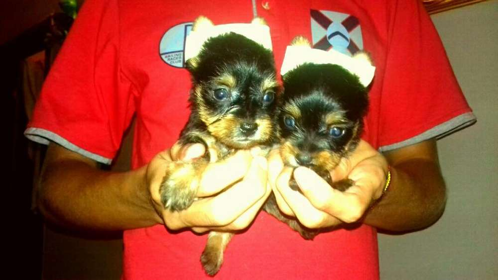 Vendo Cachorras de Yorkshaire Miniatura