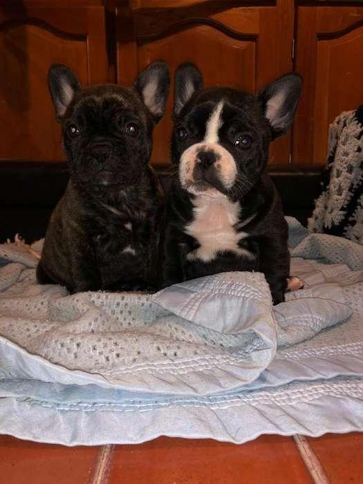 Cachorros De Bulldog Frances (tarjeta/envios)