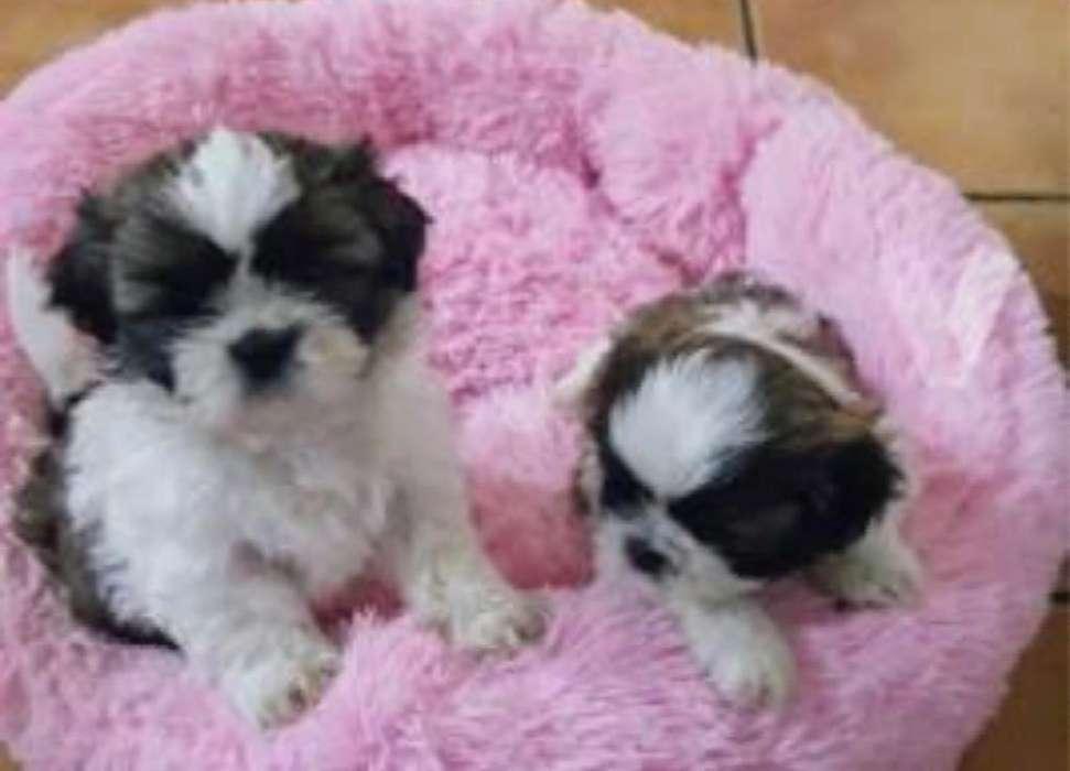 Cachorritos Shitzu