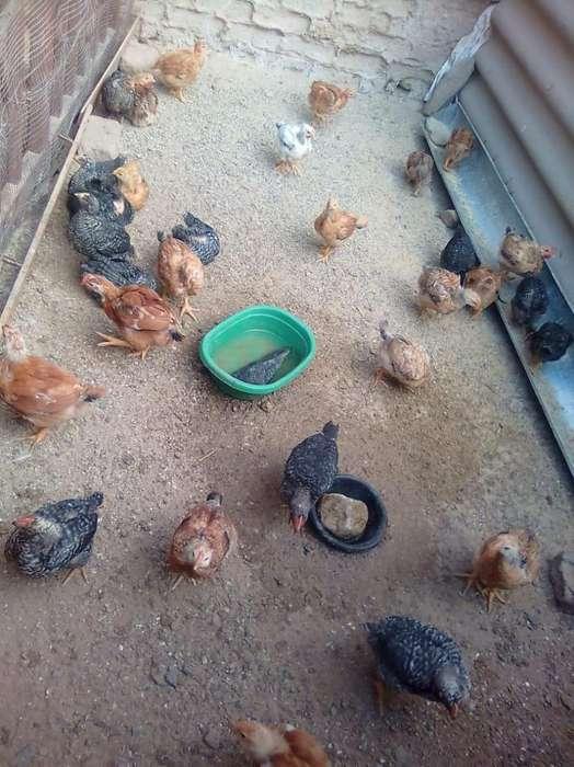 <strong>pollos</strong> criollos