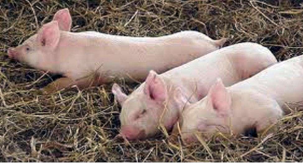 remate de cerdos
