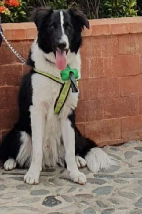 Salto de Border Collie Tradicional