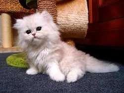 gatos persas pequeños persas puros en cali