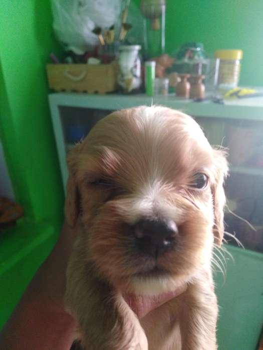 Hermosos <strong>cachorro</strong>s Coker Ingles Puros