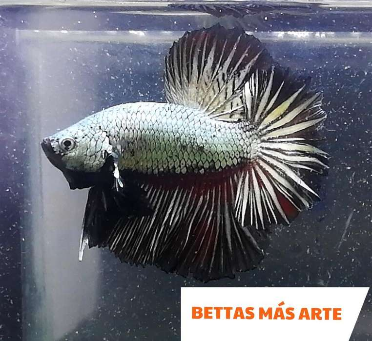Betta Dragon