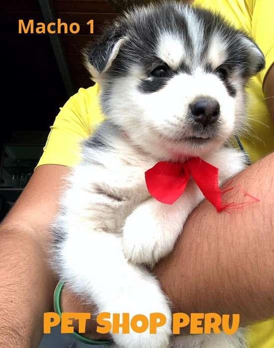 Husky Siberiano Pet Shop Peru