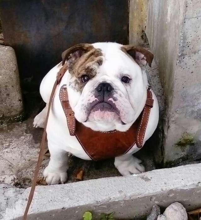 <strong>bulldog</strong> Inglés Servicio de Stud (monta)