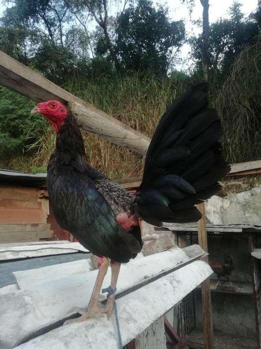 Vendo <strong>pollos</strong> Puros 3012050438