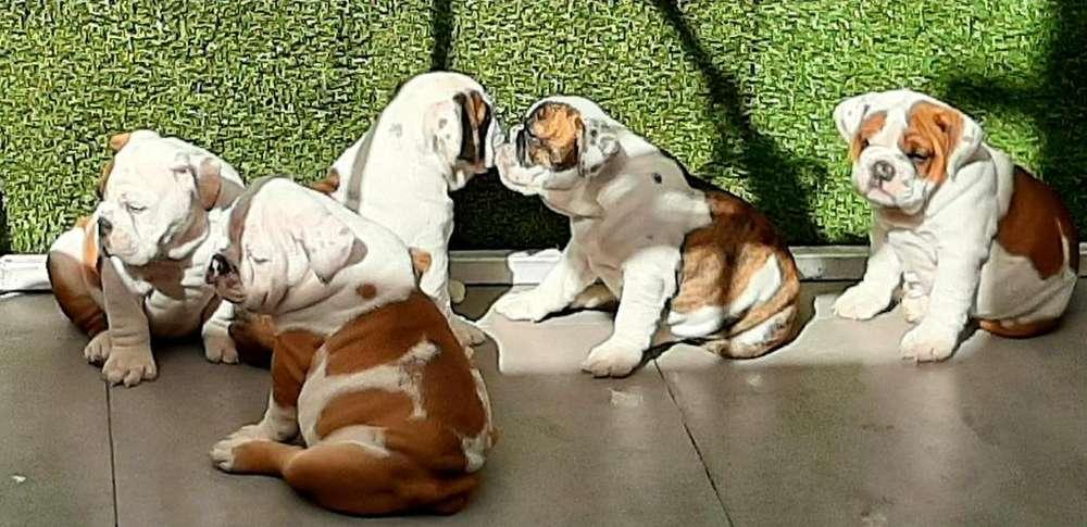 Cachorros Bulldog Ingles Arequipa