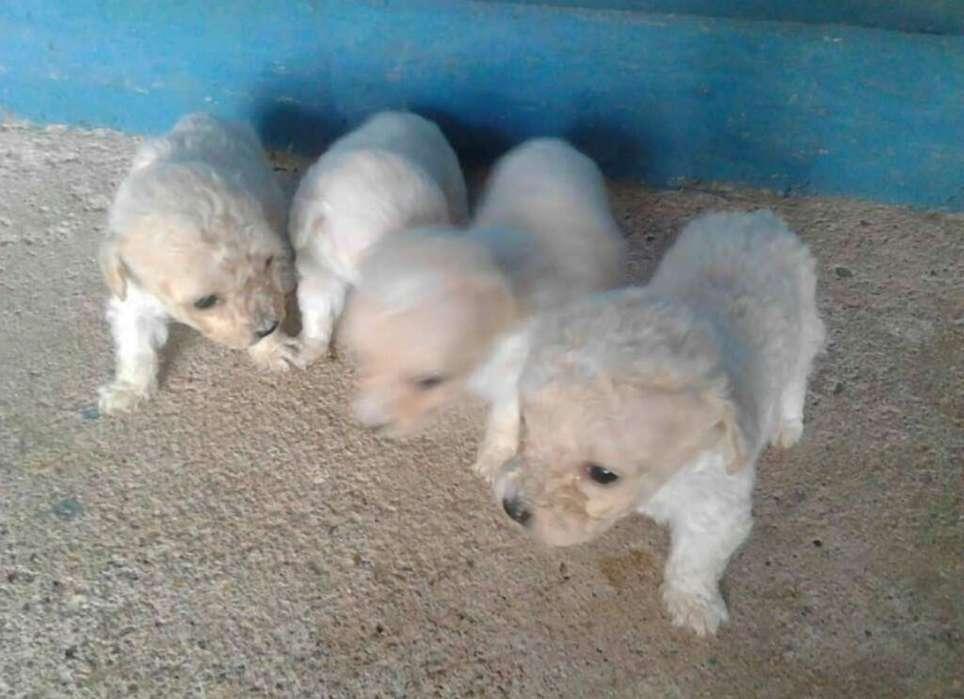 Vendo Hermosos Poodler Tacita de Te