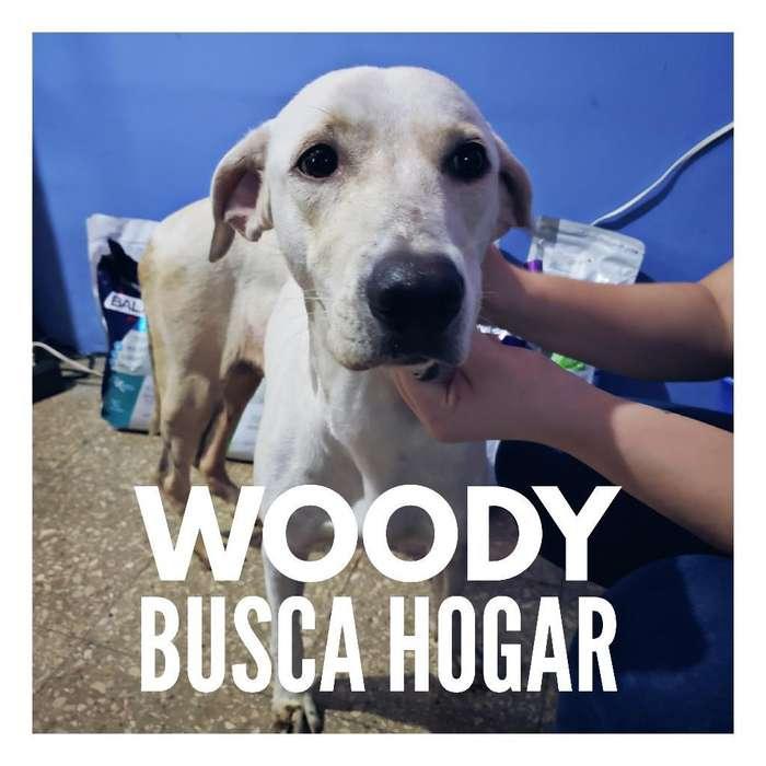 Labrador Busca Hogar