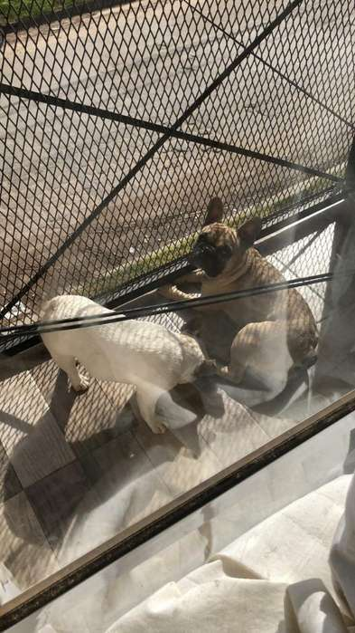 Vendo Cachorra de Bulldog Frances