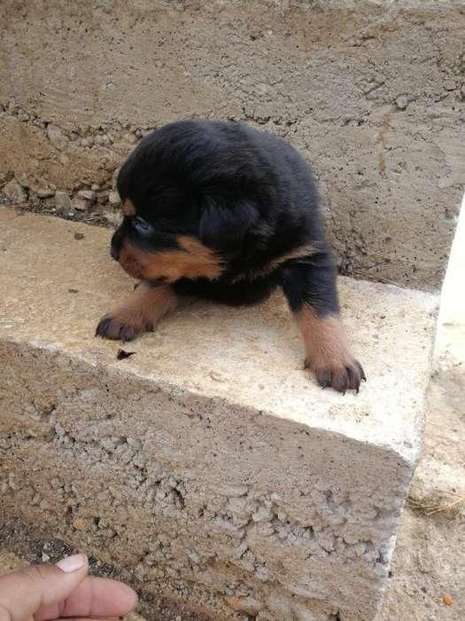 Vendo <strong>cachorro</strong>s Rottweiler