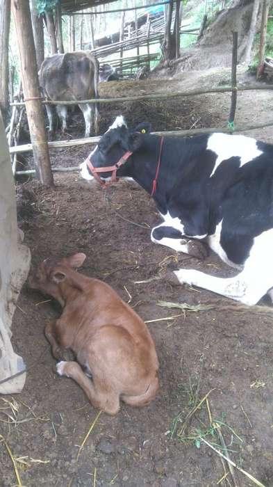 <strong>vaca</strong> Holstein Y Cria de 14 Meses