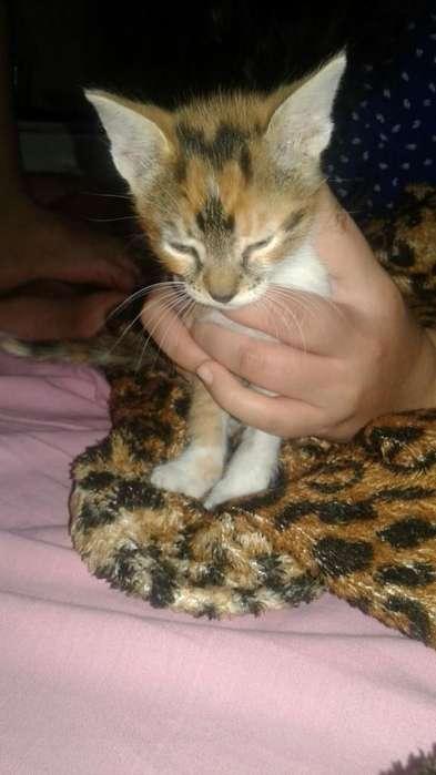 Adopto Gatito Macho Chiquito