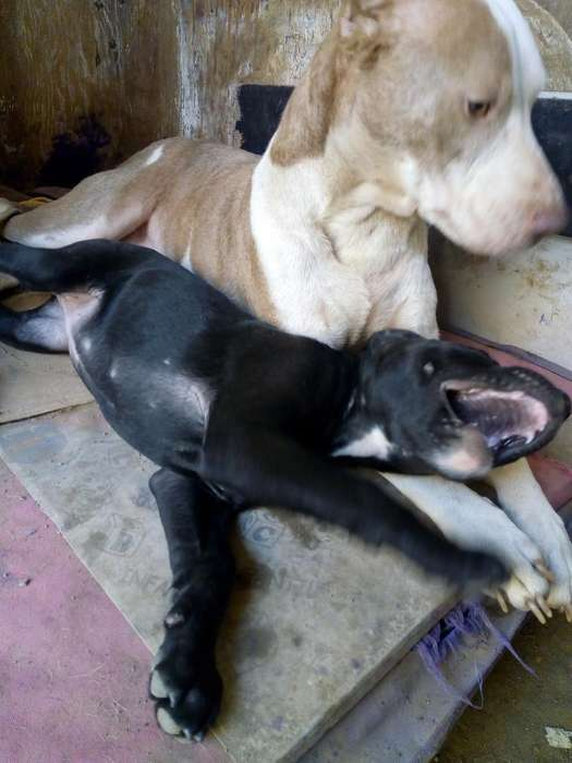 Cachorros Pitbull Negociable Fusion