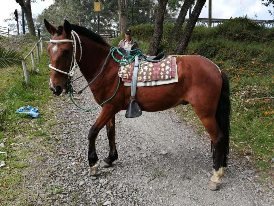 Vendo <strong>caballo</strong> Galopero de 7 Años