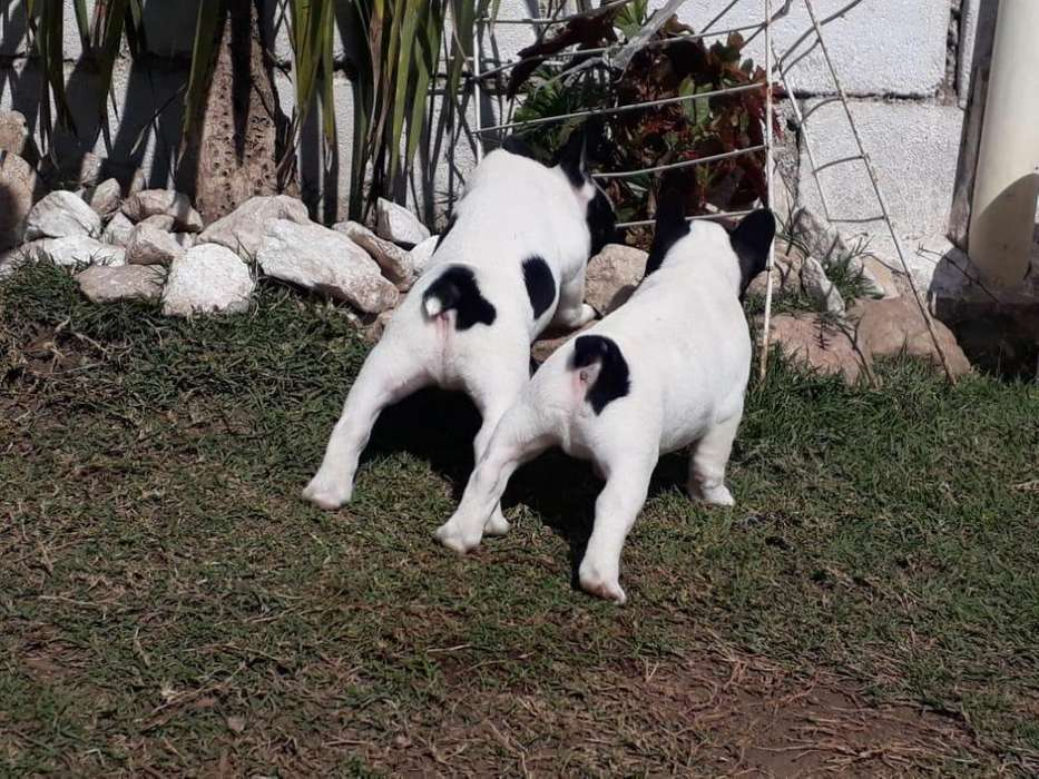 Bellas Bulldog Francés.
