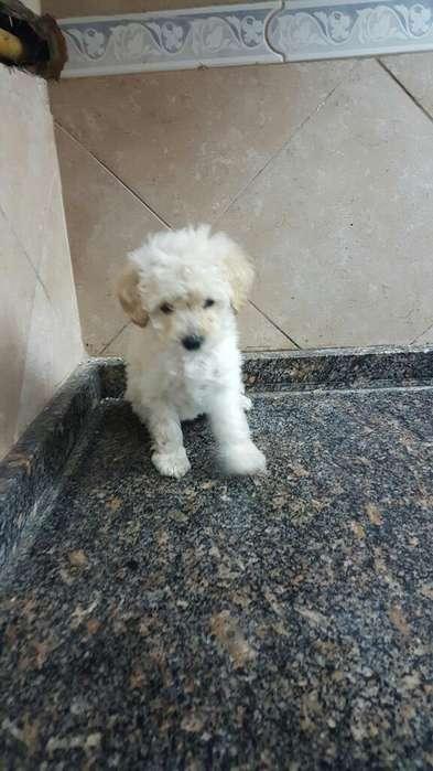 Hermosos Cachorros Blancos