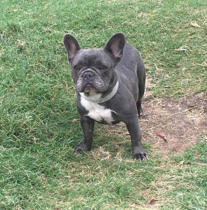 hermosa bulldog frances blue hembra adulta con pedigree