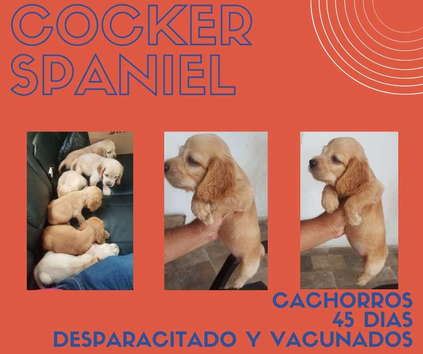 Venta cachorros Cocker Spaniel