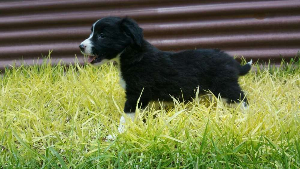 Border <strong>collie</strong> Hembra 400