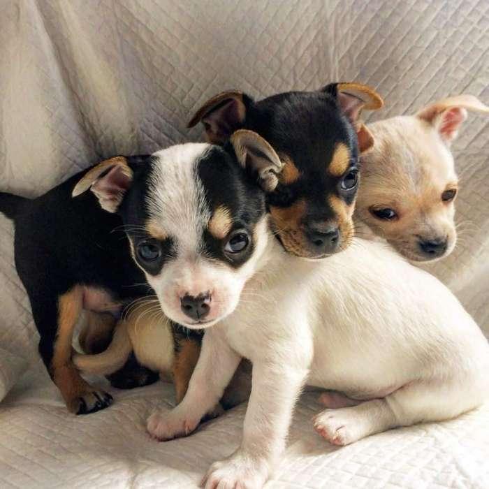 Hermosos Chihuahuas cabeza de manzana