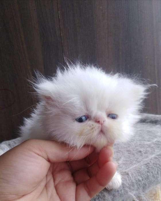Gatos Persa Disponibles