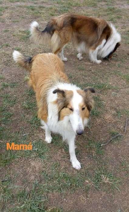 Cachorros Collie Pelo Largo, 65 Días