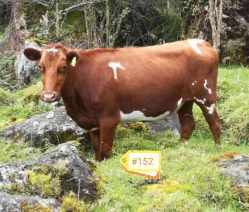 Novillas Holstein Rojas tipo Leche