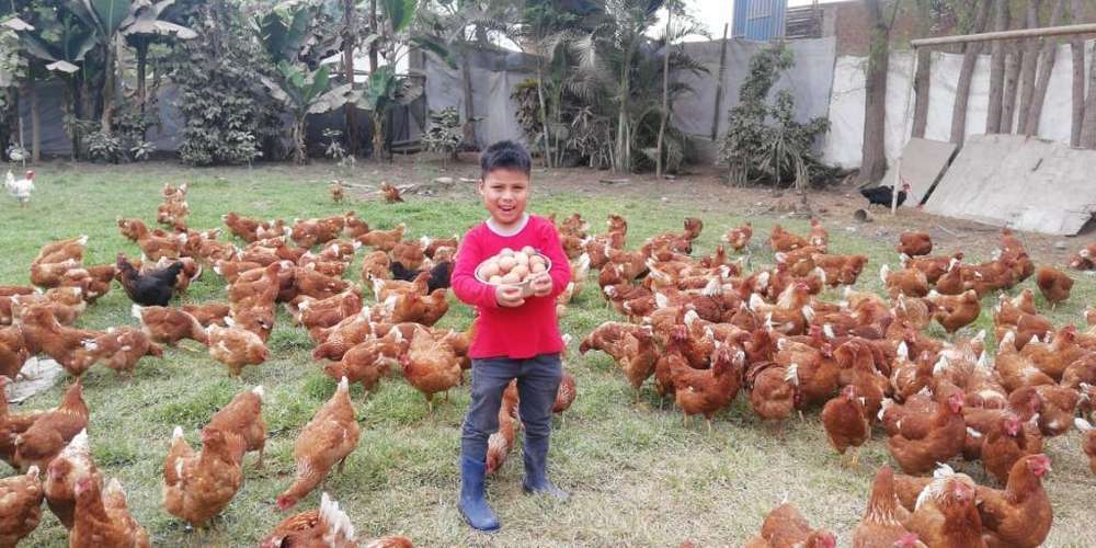 Remato Gallinas Brown S/15.00 Carabayllo