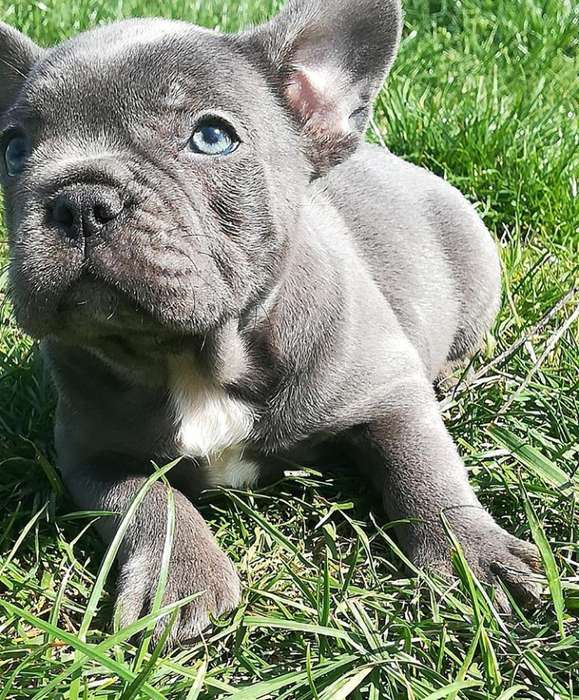 Bulldog francs blue