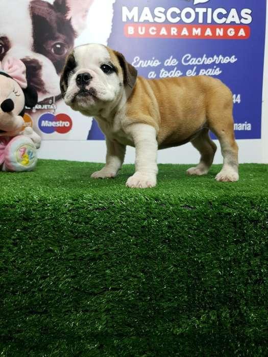 Vendo Bella Bulldog Ingles Muy Hermosa